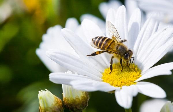punture-di-ape