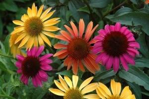 Echinacea_group_Web