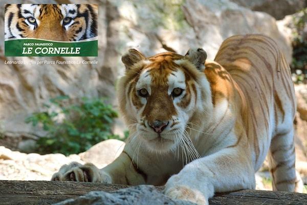 I 10 zoo pi belli in italia for Immagini tigre da colorare