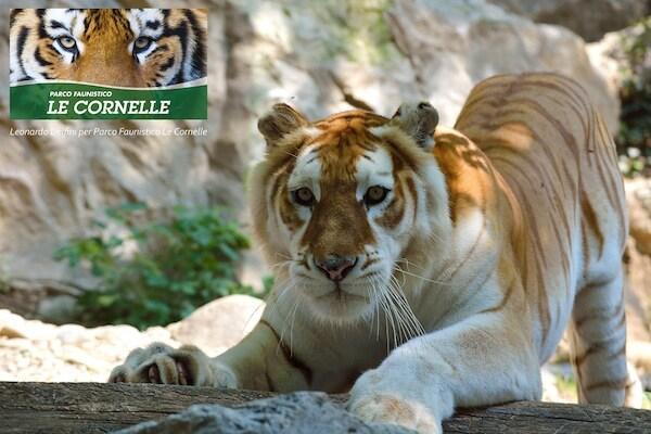 tigre_bianca_lecornelle.jpg