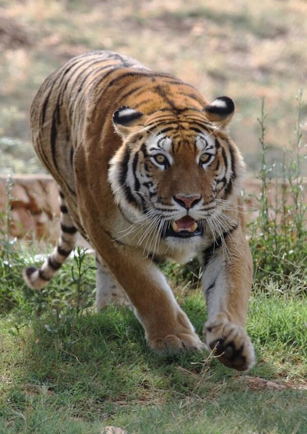I 10 zoo pi belli in italia for Disegni delle tigri
