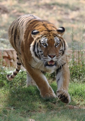 tigre_siberiana.jpg