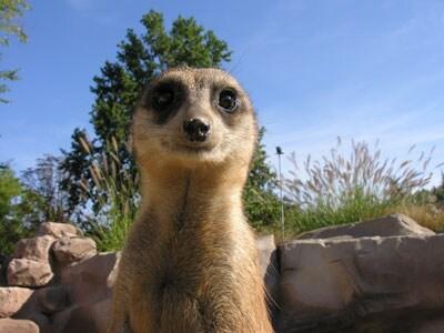 zoom-suricati