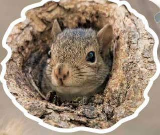 pico-scoiattolo-300