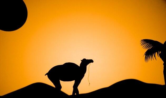camel41