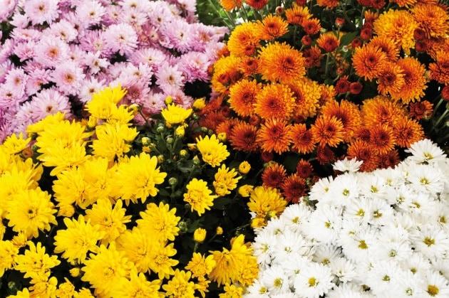 12crisantemi