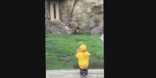 bambino-attacco-leone