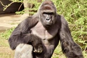 gorilla.600
