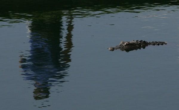 alligatore-nf.600