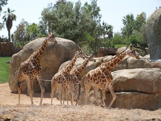 bioparco-giraffe