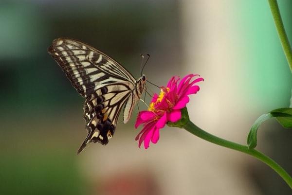 farfalla.600
