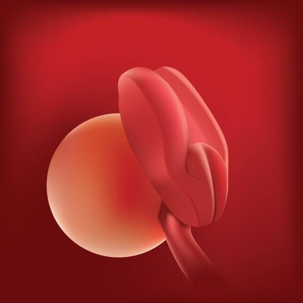 embrione2settimane.600