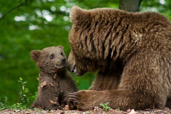 Cucciolo di orso e la sua mamma